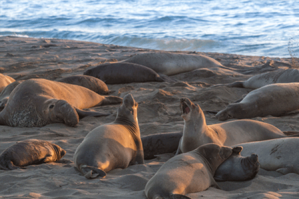 cambria elephant seal rookery